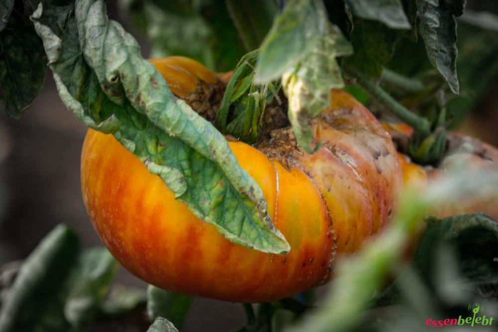 tomate die frucht aus dem paradies. Black Bedroom Furniture Sets. Home Design Ideas