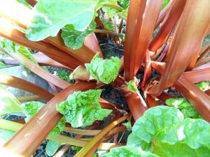 Rhabarberpflanze